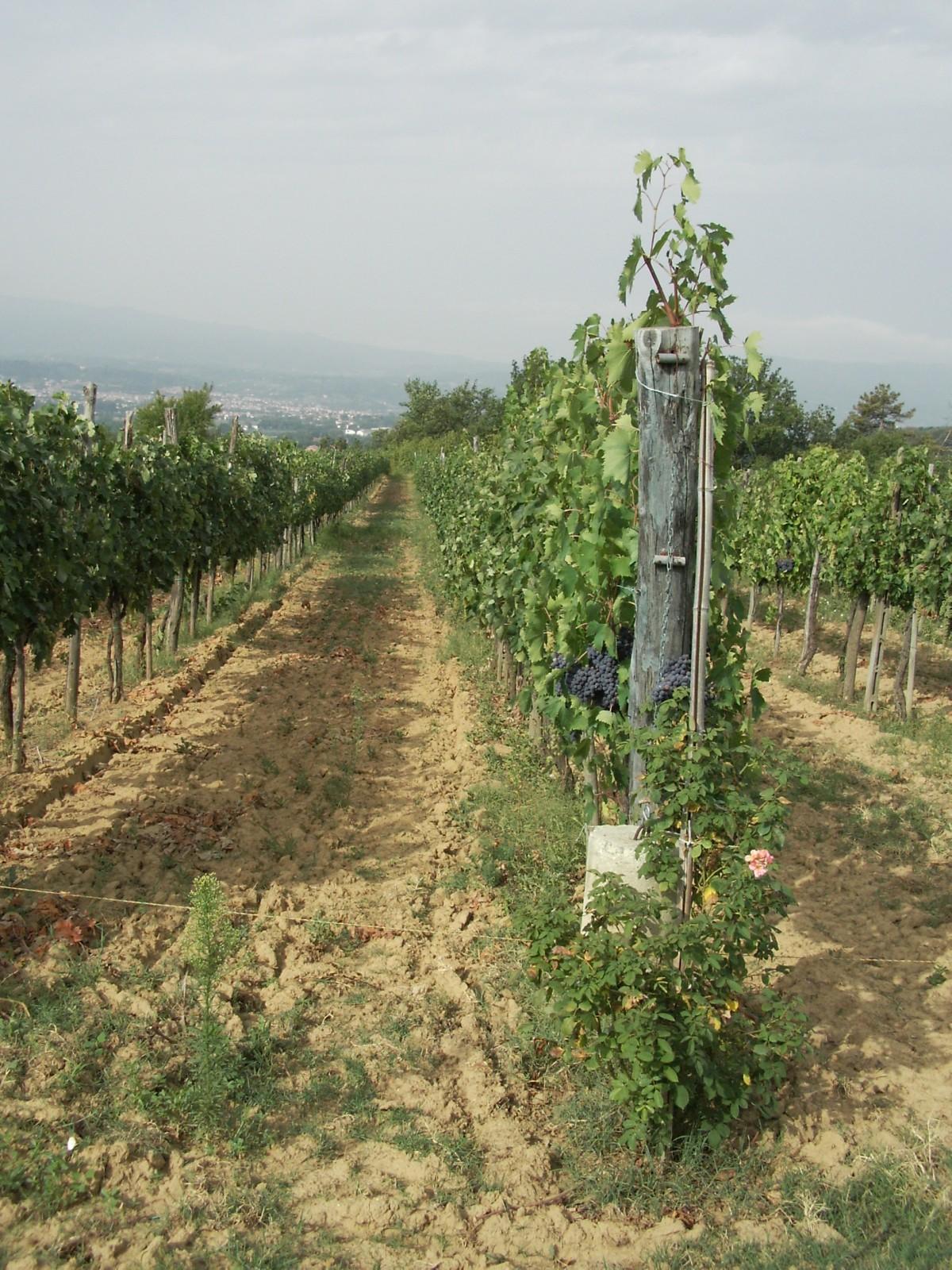 vigne-de-savernano---toscane---01.jpg