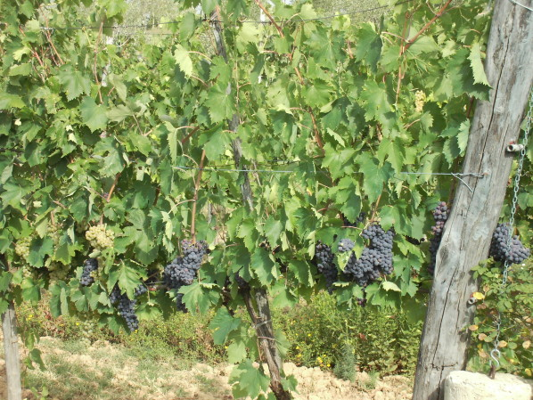 vigne-de-savernano---toscane---02.jpg