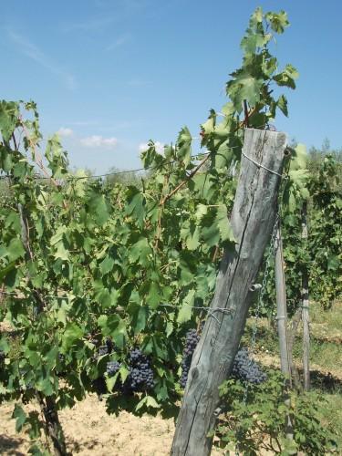 vigne-de-savernano---toscane---03.jpg
