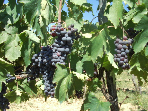 vigne-de-savernano---toscane---04.jpg