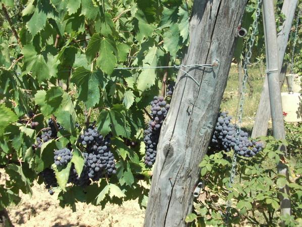 vigne-de-savernano---toscane---05.jpg